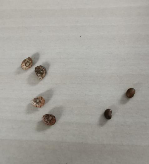 Foto van niet-ontpelde (links) en ontpelde (rechts) zaden